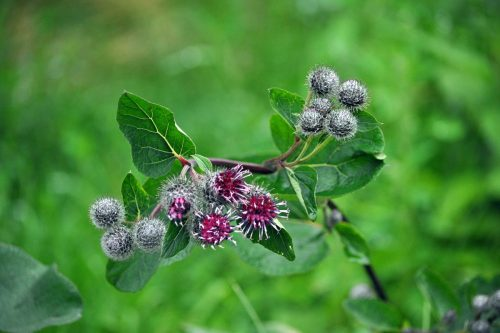 Agrimony improves digestive functions and bladder control