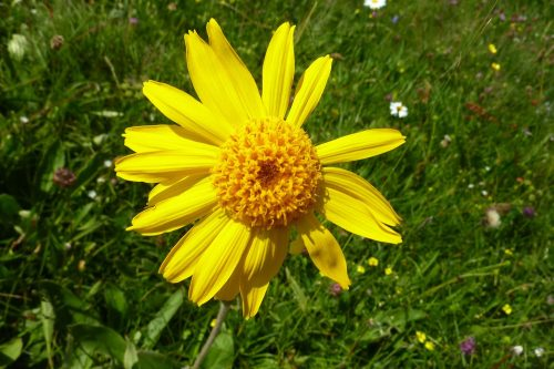 Arnica Flower for Healing Wounds