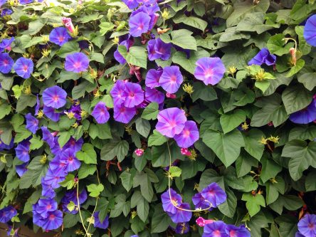 Ipomoea Tricolor Morning Glory
