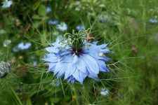 Nigella Damascus Flower Seeds