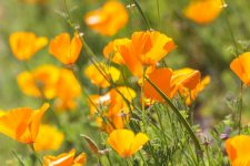 Orange California poppies, cultivated and wild.