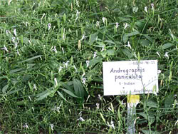 Andrographis paniculata by Eigene Aufnahme