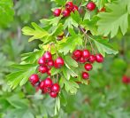 Hawthorn Fruit Berries