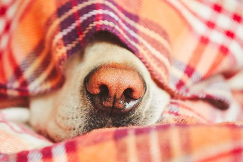 Labrador Retriever sleeping under the covers