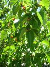 Tierra mulberry tree