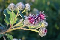 Purple Burdock