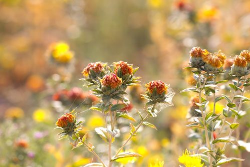 Safflowers in the Field